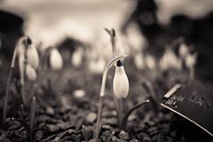 Wide angle snowdrops, Kew Gardens (tonybill) Tags: flowers kewgardens london monochrome kew gardens orchids places surrey snowdrops royalbotanicgardens splittoned nikkor28mmf28ais nikond610