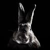 Solemn Bunny (Jeric Santiago) Tags: summer pet rabbit bunny animal conejo lapin hase kaninchen うさぎ 兎 winterrabbit