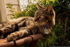 Jenny Wren - Lazy Sunshine (FatHarris_) Tags: wood summer grass sunshine female cat garden table outdoors nikon feline cornwall tabby kitty sleepy lazy summertime cornish helston kernow nikond60