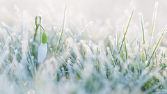 Snowdrop - Sneeuwklokje (wimzilver) Tags: winter cold macro canon is nederland usm koud alblasserdam f28l ef100mm macrofotografie canonspeedlite580exii wimboon canoneos5dmarkiii