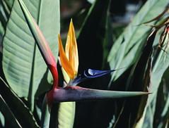 Strelitzia_reginae_3_2 (Mark Egger) Tags: musaceae strelitziareginae