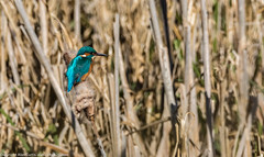9Q6A8534 (2) (Alinbidford) Tags: kingfisher brandonmarsh alancurtis alinbidford