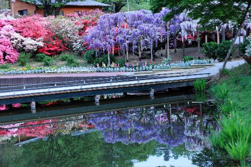 Thưởng ngoạn suối hoa tử đằng tại Nhật Bản