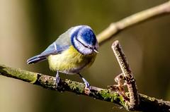 Blue tit (cyanistes caeruleus) (phat5toe) Tags: nature birds nikon wildlife feathers bluetit penningtonflash avian wigan flashes cyanistescaeruleus greenheart d7000 sigma150500