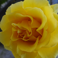 DSC00112 (omirou56) Tags: flower macro nature rose garden 11 greece yellowrose flowerpower flowerscolors     sonydscwx500