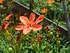 58/366 A flower in the garden (JessicaBelotto) Tags: orange flower color macro verde nature garden happy day foto ar natureza laranja flor dia days honey jardim feliz ao fotografia projeto livre cor composição fotografando fotografico 366 366daysofhoney 366diasnoano