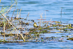 Citrine Wagtail (_DSF6230) (Param-Roving-Photog) Tags: bird water grass yellow river wildlife migratory punjab wwf wetland wagtail citrine ramsar sutlej ropar