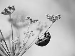 Première coccinelle (steph20_2) Tags: bw white black macro monochrome closeup insect lumix noir noiretblanc ngc panasonic g5 monochrom blanc insecte coccinelle m43 skanchelli