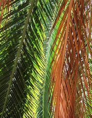 Boyce Thompson Arboretum (studioferullo) Tags: arizona texture garden pattern superior arboretum palm botanicalgarden boycethompson desertgarden organicpattern