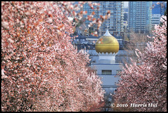 Have Faith In Cherry Blossoms  - East 3rd Avenue N17854e (Harris Hui (in search of light)) Tags: flowers canada rooftop vancouver religious spring nikon bc richmond luck seeing dome cherryblossoms layers framing eastvan eastvancouver layering  d300 springblossoms natureinthecity sigma70200mmf28 sikhtemple vaneast polarisingfilter nikonuser sunnybreak east3rdavenue nikond300 harrishui vancouverdslrshooter akalisinghsikhtemple alittlebitofluck  havefaithincherryblossoms