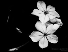 Flower in BW [Explored] (gjaviergutierrezb) Tags: flowers blackandwhite bw white plant black flower planta blancoynegro blanco gardens blackbackground garden y gardening background negro flor fondo monocromático fondonegro floración