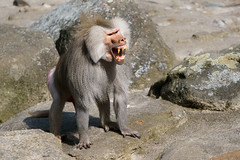 Angry baboon (Pavian) (matthias.foto) Tags: park trip light wild color cute art nature beautiful beauty animal animals danger germany deutschland photography zoo monkey photo europe photos sweet bokeh outdoor wildlife portait sony natur angry ape baboon alpha primate 6000 tier gefhrlich affe pavian 2015 schn primat ilce wtend ss mirrorless a6000 fe702004