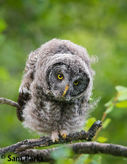 GG52 (Sam Parks Photography) Tags: trees wild summer usa baby bird nature animal closeup forest rockies spring wings woods nest nps wildlife unitedstatesofamerica ghost feathers young meadow aves headshot raptor northamerica rockymountains wyoming tight greatgrayowl phantom predator juvenile carnivorous naturalworld jacksonhole avian fledgling offspring tetonrange parkservice strigiformes grandtetonnationalpark predatory strixnebulosa gye nestling mountainous owlet carnivora strigidae gtnp fledge verticalorientation greateryellowstoneecosystem carniore