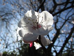 Flowers #480 (tt64jp) Tags: plants white plant flower color colour nature floral fleur colors japan japanese spring flora blossom flor bloom  apricot flowering  blume   flore kiryu