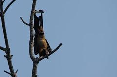 Indian flying fox (Chalto!) Tags: holiday asia bat srilanka ceylon flyingfox fruitbat indianflyingfox cynopterussphinx greatershortnosedfruitbat shortnosedindianfruitbat thalawawulaa