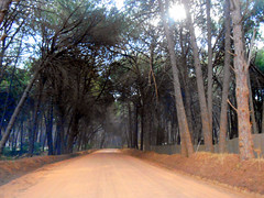 Pine Tree Passage (RobW_) Tags: pine tree pasage stellenrust road stellenbosch western cape south africa saturday 05mar2016 march 2016 treetunnel
