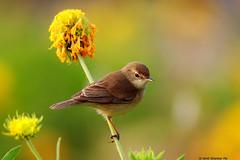 Booted Warbler (Amit Shankar Pal) Tags: bird birds organo hyderabad amit bootedwarbler wwwamitshankarpalcom amitshankarpal