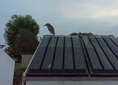 Dumpster Not A Toilet (tourtrophy) Tags: bird heron dumpster nikon coolpix shorebird blackcrownednightheron a juvenileblackcrownednightheron nikoncoolpixa