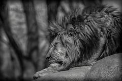 A L i o n s R e s t (Chris Robinson Photography) Tags: animals spring cool lion sleepy wildanimal deadly ferocious blackandwhitephotography viscous africanlion malelion animalphotography meateater sigma70200f28 carivore