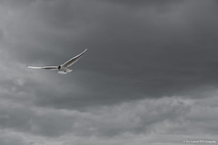 Gull over Whitstable (Dave Lockwood DA12) Tags: blackandwhite bw outside outdoors blackwhite kent nikon outdoor gull sigma 1770 whitstable lightroom northkent d7200