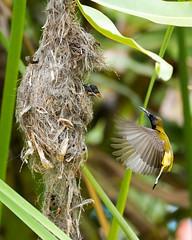 20160401-EM1X5022 (shutterblades) Tags: bird feeding nesting nests sunbirds gardensbythebay olympusem1 olympusmzuiko300mmf4pro