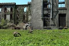 Canada Geese, Goslings, Smallpox Hospital (Southpoint Park/NYC) (chedpics) Tags: newyork geese rooseveltisland smallpoxhospital renwickruin southpointpark