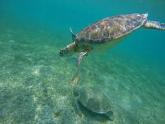Two sea turtles and a fish (benjaminfish) Tags: beach mexico riviera maya tulum yucatn peninsula roo quintana 2016