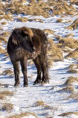 cheveaux (10) (OliPhil_997) Tags: horses iceland islande cheveaux