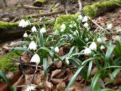 Mrzenbecher (MsAndi63) Tags: spring forrest wald frhling mrzenbecher eselsburgertal ostalb panasoniclumixfz150