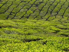 How many shades of green? (Jackie & Dennis) Tags: kerala teaplantation munnar rwh ramblersworldwideholidays