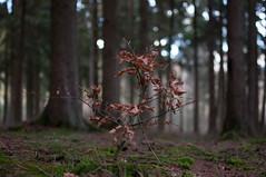 Nachwuchs (sduesterhus) Tags: winter tree nature forest landscape nikon outdoor natur landschaft wald spruce baum beech fichte buche hohemark d5000
