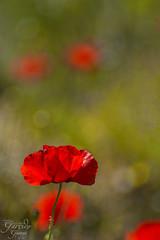 Amapola (Dancodan) Tags: naturaleza flores macro nikon plantas bokeh desenfoque macrofotografa d7100 meyeroptikgrlitzdomiplan50mmf28 bokehextremo