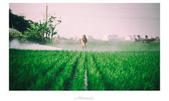 稻‧ 藥 系列 (楚志遠) Tags: nikon f25 ai 風景 植物 稻田 105mm 原野 草 藥 戶外 相片框 楚志遠 凍先生