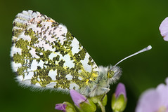 Orange-tip butterfly (Anthocharis cardamines) (Ian Redding) Tags: uk orange white male nature fauna butterfly insect early spring european wildlife underside british invertebrate ladyssmock arthropod cardaminepratensis cuckooflower orangetip anthochariscardamines pieridae
