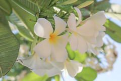 White plumeria flower (diary of moon) Tags: park blue sky bali white plant flower nature water beautiful beauty yellow garden relax hawaii design pretty perfume pacific blossom background south lei petal exotic invitation card dew zen smell hawaiian tropical bloom tropic bouquet welcome relaxation subtropical spa aloha element scent raindrop
