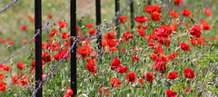 Red Spring (Xtian du Gard) Tags: red rouge spring printemps coquelicots popies