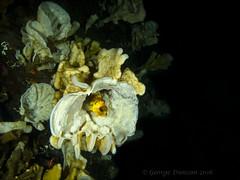 Quillback Rockfish in Cloud Sponge (GfLGdog) Tags: canada glass scubadiving sponge cloudsponge quillbackrockfish porpoisebaybc