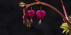 Bleeding Hearts Dicentra spectablis (YuccaYellow) Tags: red plant black flower macro nature garden dark hearts botanical flora background sharp van bleeding dicentra vandusen dusen spectablis