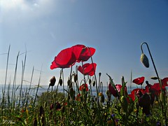 Spring...poppies and blue sky!!! (panoskaralis) Tags: flowers red plants green nature greece poppies lesbos mytilene aegeansea lesvosisland