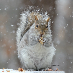 Squirrel  55 (Diane G. Zooms--- On/Off) Tags: squirrel squirrels wildlife longislandny magicmoments easterngreysquirrel squirrelsinwinter squirrelphotos wintersquirrels squirrelphotography sunrays5 dianegiurcophotography squirrelswithsnow