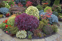 Begonias continue to flower in the autumn garden (Four Seasons Garden) Tags: uk flowers blue autumn red england colour green english leaves yellow garden bench four japanese wooden maple seasons seat award banana foliage national begonia deciduous winning walsall 2015 acers