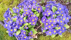 April primroses (horsepj) Tags: flowers purple blossom indiana bloom elkhart primrose