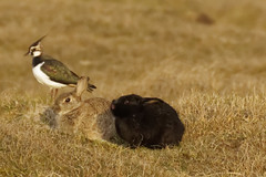 Watership Down 03 -Freundschaft_Web (berni.radke) Tags: moon rabbit bunny river mond hazel raft buck fluss apollo watershipdown kaninchen fiver photostory pitfall flos rammler cony seepferd falle lachmwe kehaar richardadams enborne wildkaninchen untenamfluss