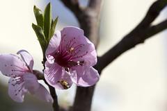 Besuch im Frhling (Jrgenshaus) Tags: deutschland nrw blte garten rheinland frhling siegburg marienkfer pfirsichblte kaldauen