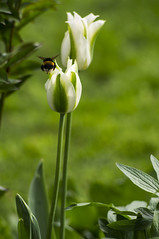 Tulips with bee (harmi2009) Tags: white flower macro green nature dpsgreen dpswhite dpsshallow dpsnature