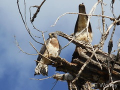 April 19, 2016 - A pair of Swainson's Hawk in one of Thornton's parks. (LE Worley)