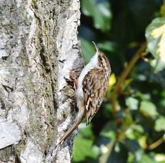 Tree creeper in Warwickshire (robmcrorie) Tags: camera tree bird lens ed nikon wildlife birding creeper warwickshire vr 56 200500