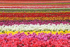 Flower Carpet (littlekiss) Tags: flower colors field festival catchycolors spring colorful weekend tulip abbotsford tulipfestival littlekiss