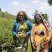 Protecting the planet: Tea plantations in the Nilgiri Hills are more energy efficient; Tamil Nadu 2012