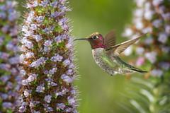 Glitter in the Shadows (Patricia Ware) Tags: california canon flash handheld birdsinflight annashummingbird playadelrey calypteanna specanimal httppwarezenfoliocom 2016patriciawareallrightsreserved